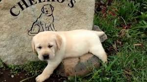 english yellow lab puppies. Modren Yellow Yellow English Lab Puppy And Lab Puppies YouTube