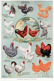 Different Types Of Chickens Chart File Chickens 2 Jpg Wikimedia Commons