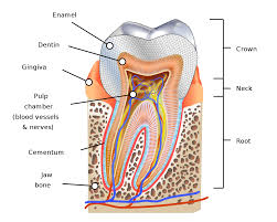 What Age Do Kids Lose Teeth Chart Human Tooth Wikipedia