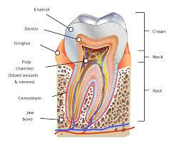 Human Tooth Wikipedia