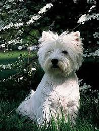 west highland white terrier maltese mix. Interesting Maltese A Westie The Temperament Of The West Highland White Terrier  To Maltese Mix T