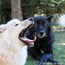 black wolf and white wolf pups.  Pups Black And White Wolves For Wolf And White Pups X