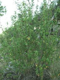 Amelanchier ovalis - Wikipedia, la enciclopedia libre