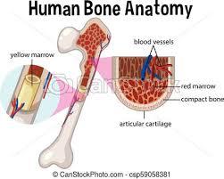 Human Bone Chart Human Bone Anatomy And Diagram