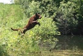 chesapeake bay retriever cooper