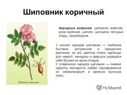 Презентация на тему Лекарственные растения Выполнил ученица  2 Шиповник