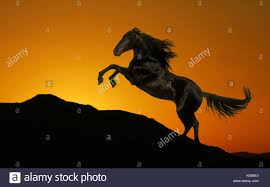 black horse rearing in sunset. Simple Horse A Black Horse Rearing On A Hilltop Silhouetted By The Setting Sun  Stock  Image With Black Horse Rearing In Sunset H