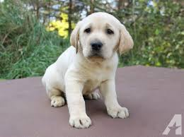 yellow lab puppies for sale. Modren Yellow Pets And Animals For Sale In East Bethel Minnesota  Puppy Kitten  Classifieds Page 2 Buy Sell Kittens Puppies Americanlistedcom To Yellow Lab Puppies For Sale O