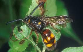Scoliid <b>wasps</b>