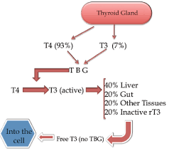 Thyroid Hormone Flow Chart Light Therapy And Hypothyroidism Sensing Angels
