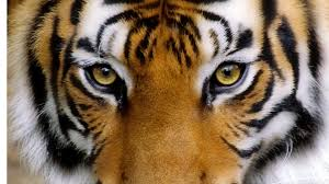 Angry Tiger Eyes Wallpapers - Wallpaper ...