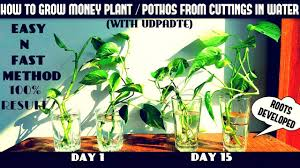 how to grow money plant pothos from cuttings in water fast n easy method
