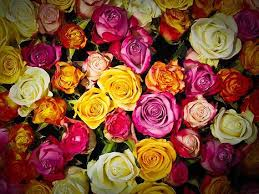 11 rose color meanings to help you pick