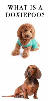 the size of the poodle depends upon the type the toy poodle reaches up to 10 inches tall the miniature can reach up to 15 inches and the standard can