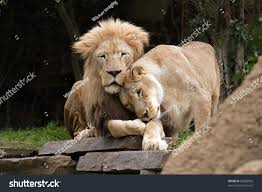 lioness and lion cuddle. Unique And Lions In Love A Lion And A Lioness Cuddle With Lioness And Lion Cuddle