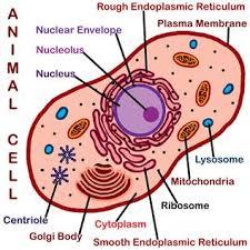 animal cell endoplasmic reticulum. Beautiful Reticulum To Animal Cell Endoplasmic Reticulum N