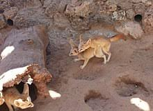 fennec fox. Exellent Fox Male Fennec Mounting A Female To Fennec Fox A