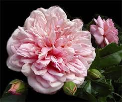 Роза Вихуры роза rosa wichuraiana полувечнозеленый кустарник  Роза Вихуры rosa wichuraiana