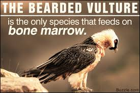 Image result for bearded vulture