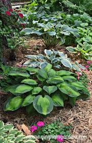 shade garden with hostas