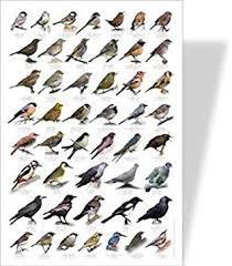 Garden Birds Educational Poster 48 European Garden Birds