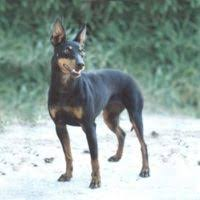 Manchester Terrier Size Chart Manchester Terrier Puppies For Sale Pets4you Com