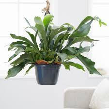 Staghorn Fern Low Light Buy Common Staghorn Fern Platycerium Bifurcatum Delivery By