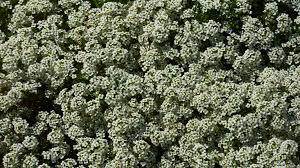 groundcover sweet alyssum flowers