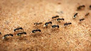 ants in bathroom. Big Black Ants In Bathroom How To Get Rid Of 8 Home Remedies That Do .  ,