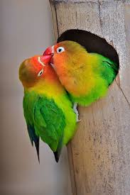 love birds images love birds wallpapers vonnie oda