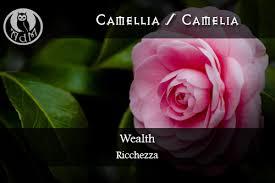 Magical Uses Of Camellia Wealth \ Usi Magici Della Camelia Simple Wonderful Quotes Usi Comg Flowers