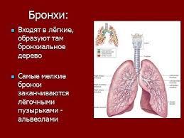 Дыхательная система человека и органы дыхания  Дыхательная система человека и органы дыхания