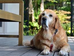 Dog Life Expectancy Chart How Long Do Dogs Live