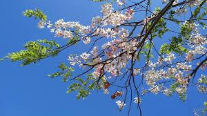 Bunga Sakura Tak Perlu Ke Jepang 5 Tempat Di Indonesia Ini Ada Bunga