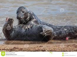 Elephant seal penis