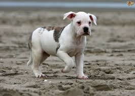 American Bulldog Puppy Growth Chart American Bulldog Dog Breed Facts Highlights Buying