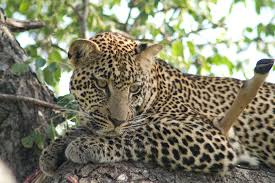 wild animals in african forest. Exellent African Wild Animals In Africa In Wild Animals African Forest