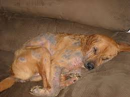 demodex mites dogs. Modren Demodex Demodicosis Throughout Demodex Mites Dogs Wikipedia