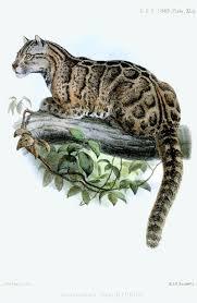 Formosan Clouded Leopard Neofelis Brachyurus Felidae