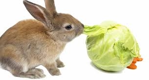 Can Rabbits Eat Cabbage A Rabbit Feeding Guide