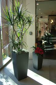office pot plants. Marginata-Potted Plants On Display: Office Plants-your Plant Solution Pot D