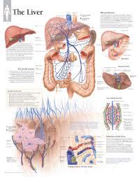 Anatomical Chart Posters Liver Anatomical Chart