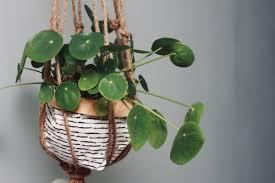 grow pilea peperomioides indoors get