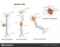 Nerve Cell Types And Organelles Stock Vector Megija 159847696