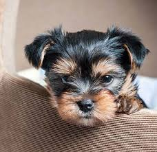 However, the design of the yorkie's hair depend on their owners choice to make their puppy stand out. Yorkie S First Year Training Timeline For A Yorkshire Terrier Puppy American Kennel Club