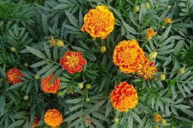 average american flower size marigolds how to plant and grow marigold flowers the old farmers
