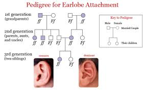Pedigree Chart For Free Or Attached Earlobes Pedigree Chart For Attached Earlobes Pedigree Chart For Free