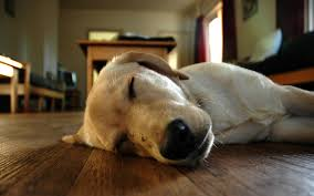 Dog Sleep Pattern Best Let Sleeping Dogs Lie But How Much Sleep Do Dogs Need Dear Taffy