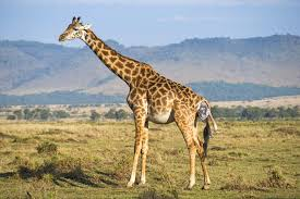 pictures of a giraffe. Modren Pictures Tour Operator Captures Incredible Pictures Of Baby Giraffe Being Born For A G