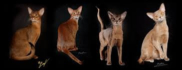 Cat Color Chart The Abyssinian Homepage Color Inheritence Chart For